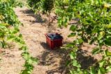 Basket of red grapes on the vineyard, Grape harvest concept