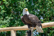 National animal of USA white-tailed big American bald eagle bird close up