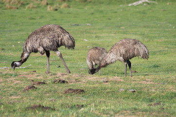 Emus walking and feeding in a field