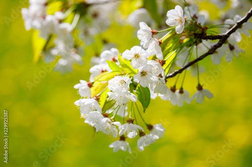 Kirschblüte - 229925387