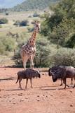 Beautiful landscape of Giraffe and Buffalo under African sky's