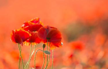 poppy on red background