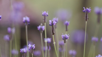 Selective focus picture of lavender flowers landscape close up abstract soft focus natural background