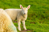Young lamb looks interested in the camera - 229941752