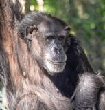 Sad Lonely Zoo Chimpanzee Monkey Face Expression - 229951951