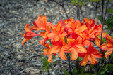 Beautiful bright orange rhododendron flowers, growing in the garden. Spring blooming nature.