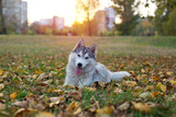 Cute little Husky dog lying on grass in a park