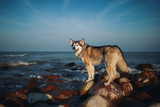 Dog is like a wolf on sea stones