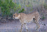Cheetah (Acinonyx jubatus) walking in the evening light in the Sabi Sands, Greater Kruger, South Africa - 229958312