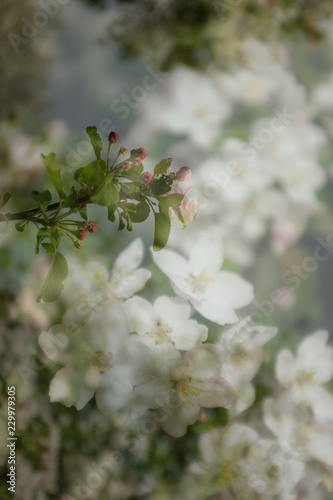 Apple blossoms blooming in spring, multiple exposure photo