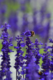 Lavender flowers with a bumble bee in the foreground
