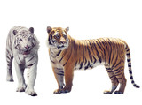 White And Brown Tigers  on white background