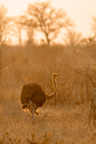 African Ostrich in Kruger National park, South Africa ; Specie Struthio camelus family of Struthionidae - 229995793
