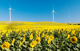 Sunflower field with two windmills in the background under blue sky in the fields