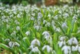 スノードロップ./待雪草.春を告げる花といわれています.