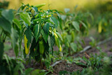 beautiful pepper Bush with ripe fruit on a blurred background in the light of the passing day