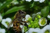 Macro of a bee collecting nectar from alyssum flowera.