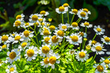 Bright daisies with white petals