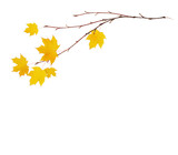 Autumn maple twigs with yellow leaves - 230058117