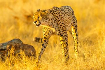 Adult cheetah standing in attack position in the savannah in dry season. Acinonyx jubatus, family of felids, Madikwe, South Africa.