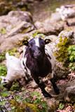 Chèvre naine - 230070923