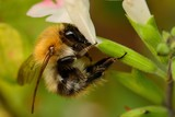Macro shot of a bee pollinating  a salvia flower - 230072354