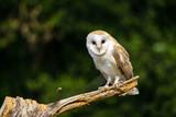 Barn owl in dried field - 230076376