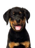 rottweiler puppy portrait on a white background - 230079362
