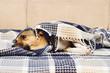Leinwanddruck Bild - sad dog under the blanket