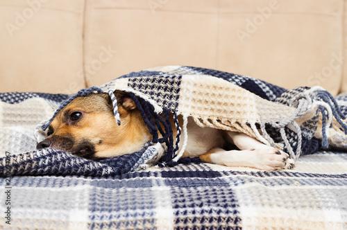 sad dog under the blanket