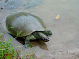 A Yellow-spotted Amazon River Turtle (Podocnemis unifilis) basking on a log in the Peruvian Amazon
