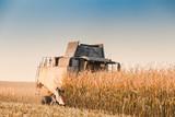 Maize field harvesting - 230121149