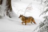 Wolf (Canis lupus) im Winter im Tier-Freigelände im Nationalpark Bayrischer Wald, Deutschland.