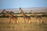 Masai Giraffe - 230145760