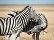 Two beautiful zebras in the African savannah.
