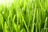 wheat grass ass background / Wheatgrass is the freshly sprouted first leaves of the common wheat plant, used as a food, drink, or dietary supplement - 230157347