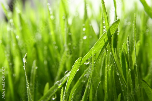 fototapeta na ścianę wheat grass ass background / Wheatgrass is the freshly sprouted first leaves of the common wheat plant, used as a food, drink, or dietary supplement