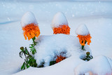 Flowers and green leaves covered with the first snow in late autumn  - 230171359
