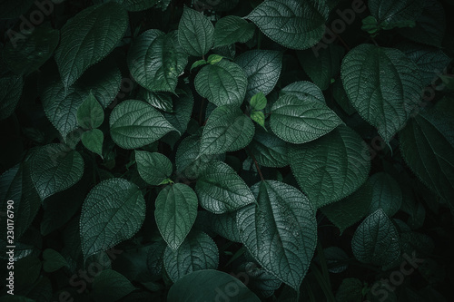 Foto Murales Foliage of tropical leaf in dark green texture, abstract pattern nature background.