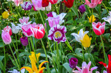 Glade of colorful tulips