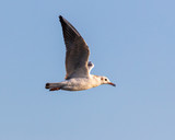 Portrait of a seagull in the sky