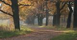 autumn oak alley in park - 230186933