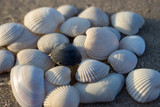 White seashells and one black shell isolated close up. Shells concept. Difference concept. Shells on sea beach. Empty beach with seashells. Tropical travel concept. Seashore at sunrise. - 230188786