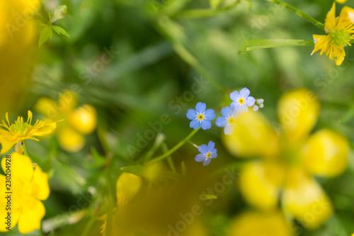 Yellow buttercups. Macro blur background. Close up defocused flowers. - 230204928