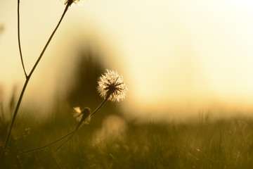 Pusteblume Sonne Gras