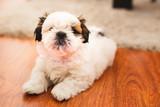 Small pure breed Shi Tzu puppy. - 230215361