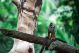 Squirrel monkey genus Saimiri while on a tree curiouos and observing