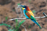 bee-eater bird with colorful feathers sitting on a branch in its beak holds a caught insect