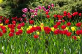group of beautiful tulips - 230253390