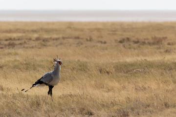 Secretary-bird in Etosha park